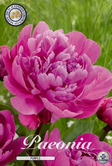 Pioen Paeonia Purple