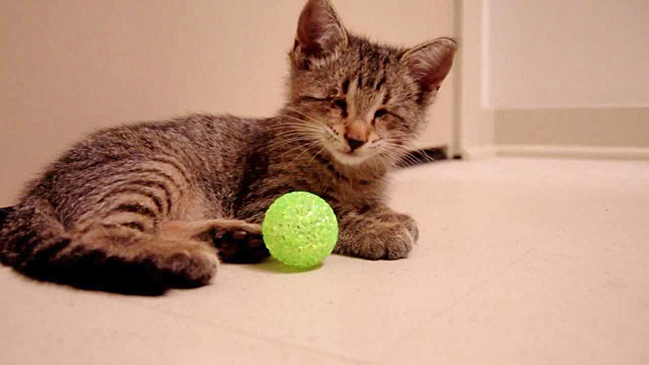 Oskar as a kitten playing with small green ball with bell inside. This is a freeze frame from Oskar's most successful, award-winning video.