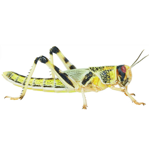 Locust Pre Packed Tub - Littlehampton Exotics