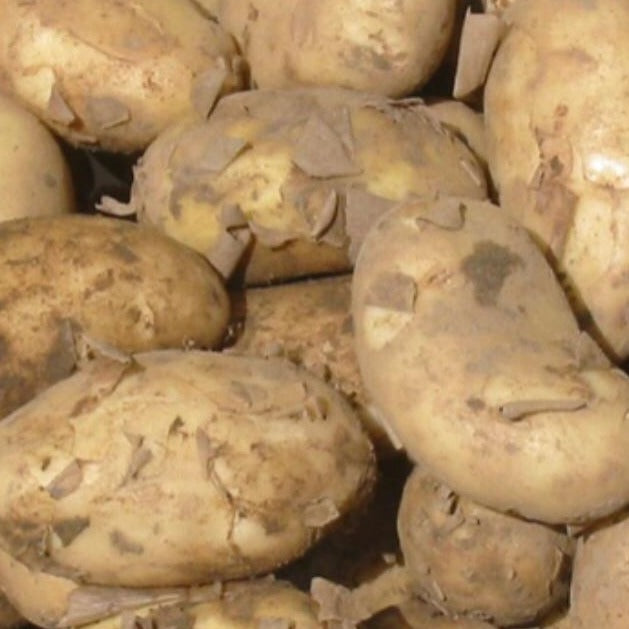 Jersey Royal Potatoes - HGFD Produce