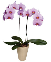 Orchids (2 per pot)  - Urbery