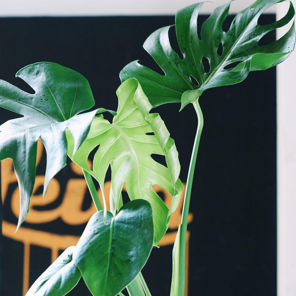 Load image into Gallery viewer, Monstera Plant