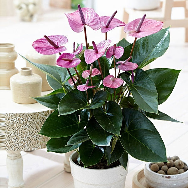 Rare Anthurium Flower Seeds (100 Pcs/Pack) Garden Beautiful  Bonsai Flower Seeds Potted Anthurium Andraeanu Seeds