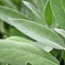 Sage Dalmation Essential Oil
