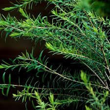 Tea Tree Essential Oil - Australia