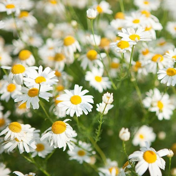 What is chamomile extract? (Chamomile Extract)