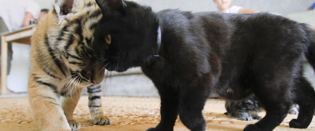 Tigre et Chat calin