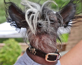 leather dog collar on a cool little dog