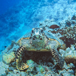Camouflaged Green Sea Turtle