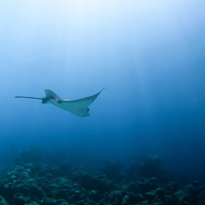 Elegant Eagle Ray