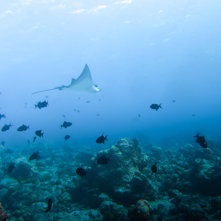 Maldivian Eagle Ray