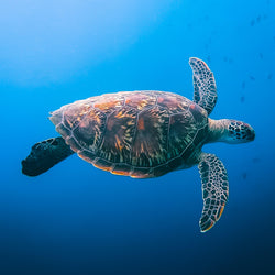 Maldivian Green Sea Turtle