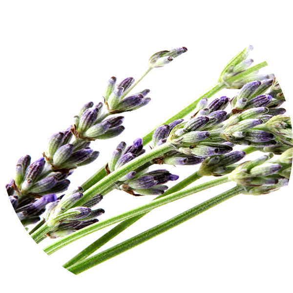 Ingredient Bulgarian Lavender