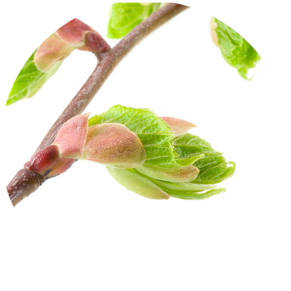 Ingredient Tilia Bud