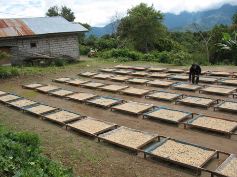 coffee beans drying in raised drying beds