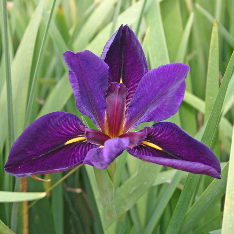 Black Gamecock Iris