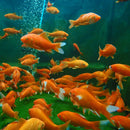 "Comet Goldfish Mix ""4 Inch"""