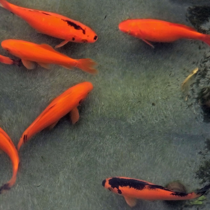 "Comet Goldfish ""Red & Black"" 6 Inch"