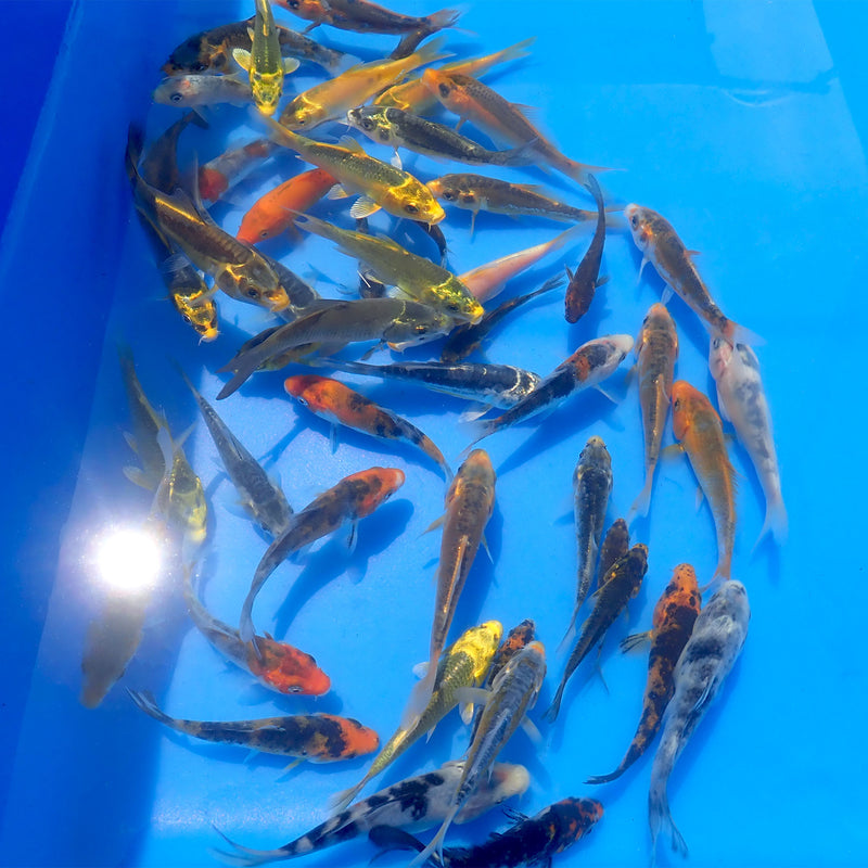 Koi - Standard Mixed - 3 - 4 Inch