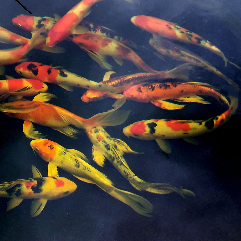Koi - Premium Mixed 6 - 8 Inch