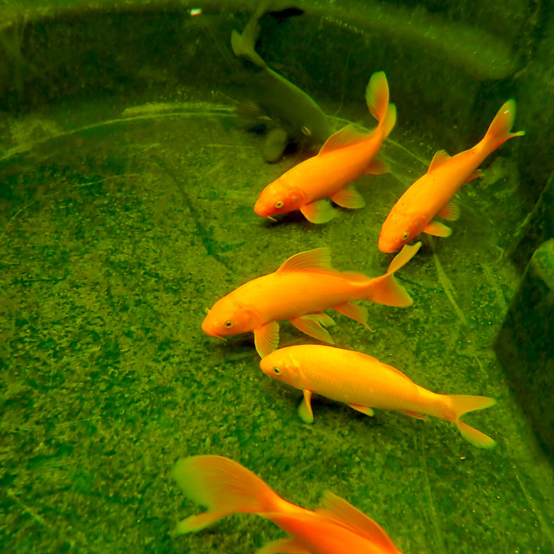 Koi - Select Mixed 5-6 Inch