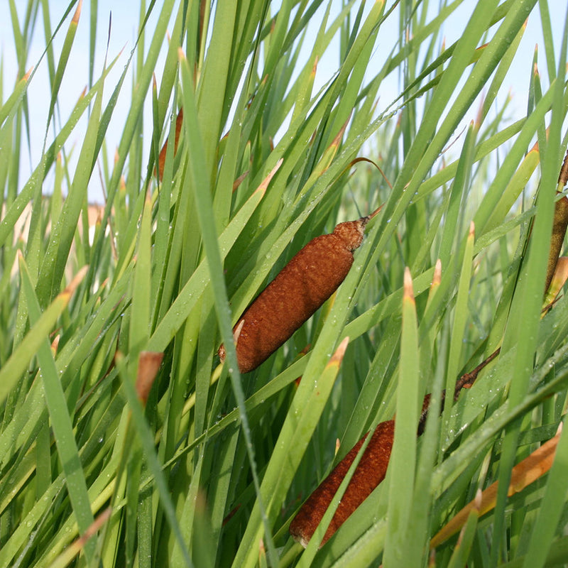 Native Common Cattail