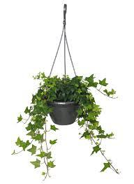 "10"" Ivy Hanging Basket SOLD OUT"