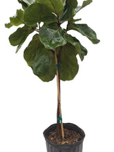 "Load image into Gallery viewer, 10"" Fiddle Leaf Fig Standard"