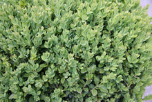 Load image into Gallery viewer, Boxwood Green Mountain 3gal ON SALE