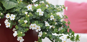"4"" Bacopa - Pack 5 ONLY AVAILABLE IN STORE"