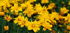 "4"" Bidens - Pack 5 ONLY AVAILABLE IN STORE"