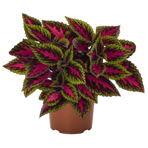 "4"" Coleus - 5 Pack  ONLY AVAILABLE IN STORE"