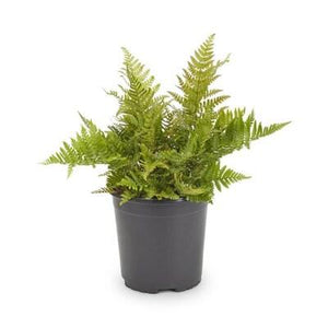 "5 Pack - 4.5"" Ferns"