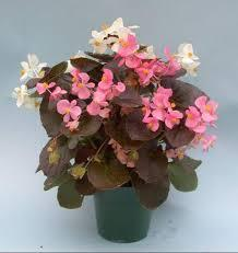 "4"" Fibrous Begonia - Pack 5 AVAILABLE IN STORE ONLY"