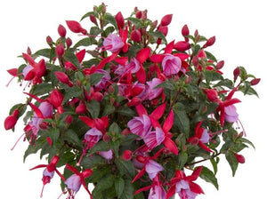 "4"" Fuchsia - 5 Pack ONLY AVAILABLE IN STORE"