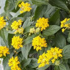 "4"" Lantana - Pack 5 ONLY AVAILABLE IN STORE"