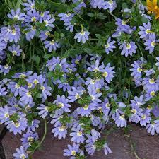 "4"" Scaevola - Pack 5 ONLY AVAILABLE IN STORE"