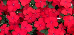 "4"" Shade Impatiens - Pack 5 SOLD OUT"