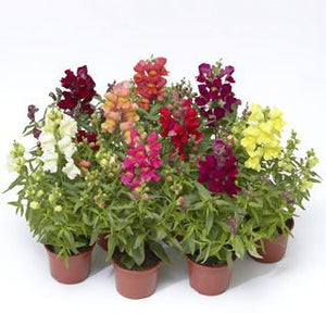 "4"" Snapdragons - Pack 5 ONLY AVAILABLE IN STORE"