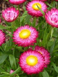 "4"" Strawflower - Pack 5 - ONLY AVAILABLE IN STORE"