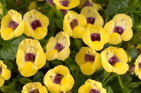"4"" Torenia - Pack 5 - ONLY AVAILABLE IN STORE"