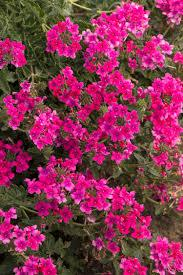"4"" Verbena - Pack 5 - ONLY AVAILABLE IN STORE"
