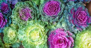 "6"" Ornamental Cabbage 3 Pack"