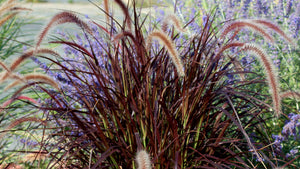 "6"" Purple Fountain Grass"