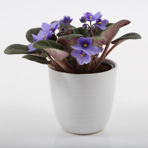 "4"" African Violets In Ceramic"