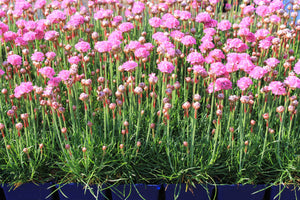 Armeria - Spring Thrift 1gal ONLY AVAILABLE IN STORE