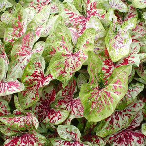 Assorted Caladium 3blb/pkg SOLD OUT FOR THE SEASON