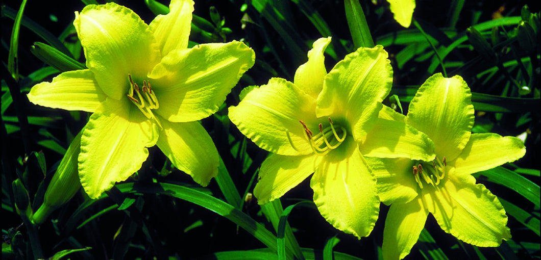 Daylily 1gal - AVAILABLE IN STORE