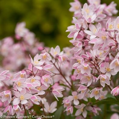 Deutzia Yuki Cherry Blossom 2 gal AVAILABLE IN STORE ONLY