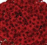 "6"" Fall Mums - 3 Pack"